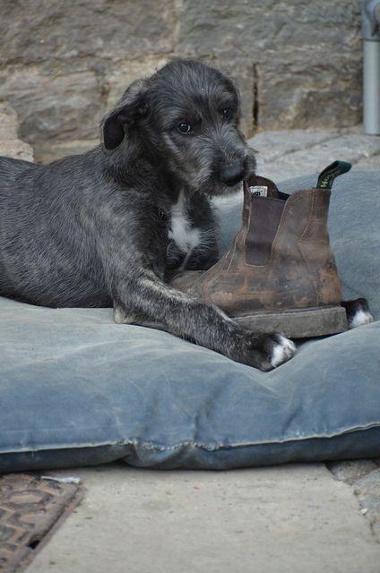 Irish Wolfhound puppy - Heliodor Roxanne   Flickr - Photo Sharing!