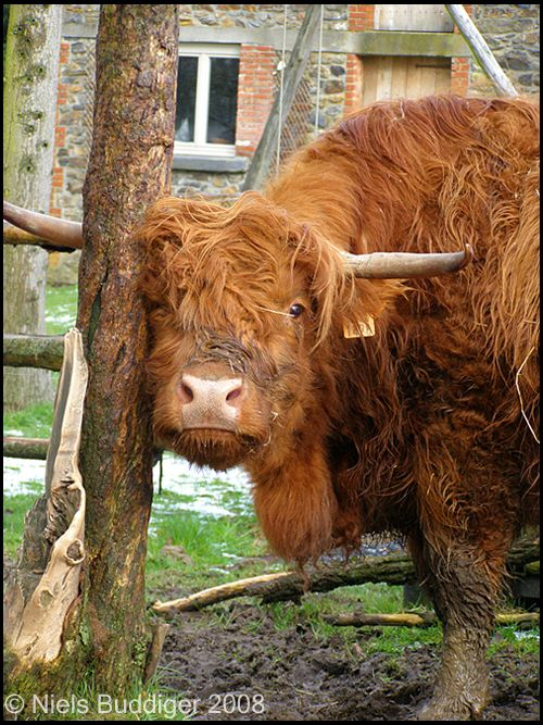 Highland cow - much like our own here at Four Seasons Hotel Hampshire!