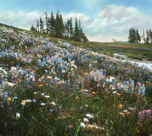 ohsresearchlibrary: Wildflowers with bear grass.Frank Branch...