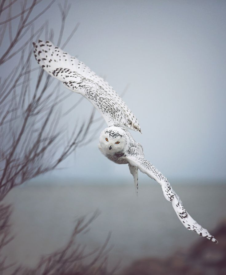 Snowy Owl In Flight by CapturedByCarriePhotography                                                                                                                                                      Más