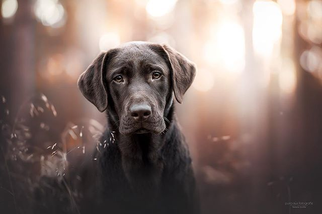 Natalie Grosse Purrpaws Fotografie Instagram Fotos Und Videos Dog Photography Labrador Dog Portrait Photography Professional Dog Photography