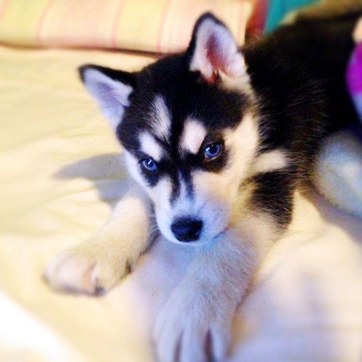 My baby BOLK!!!!  Siberian Husky