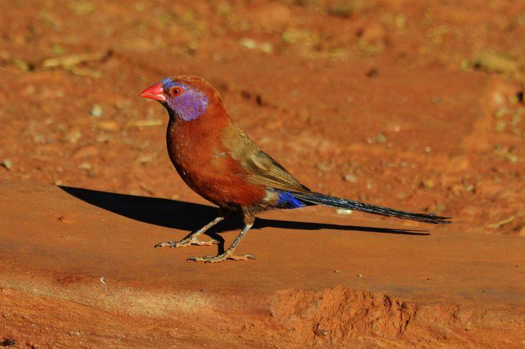 The violet-eared waxbill. One of the prettiest birds in the Kalahari.