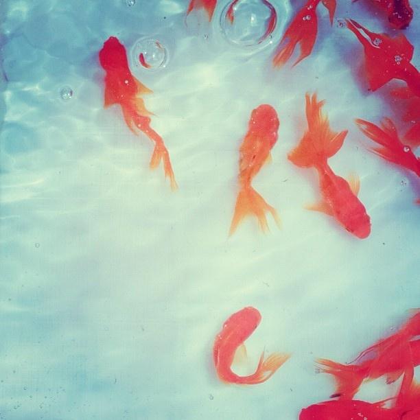 想念我家以前的金魚 by yanfoto, via Flickr | warm cool + aqua blue red pink orange + fish + iphoneography
