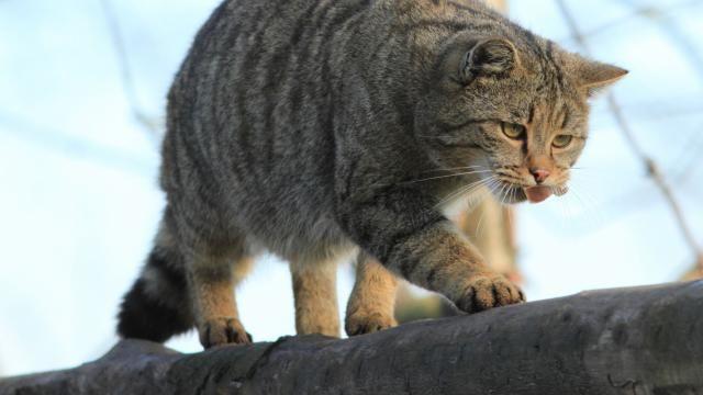 Waarschuwing voor wilde katten in Limburgse bossen | NU - Het laatste nieuws het eerst op NU.nl