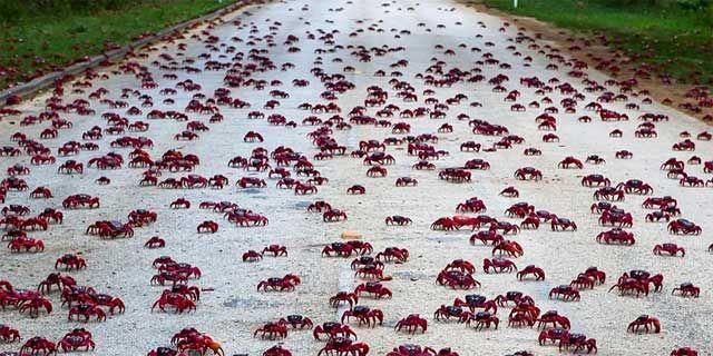 Unos cien millones de estos cangrejos emigran cada año en Noviembre, en sincronía con los ciclos lunares.   fenomenos   Tiene lugar en la Isla de Navidad, y se debe a la llegada de la temporada de lluvias.
