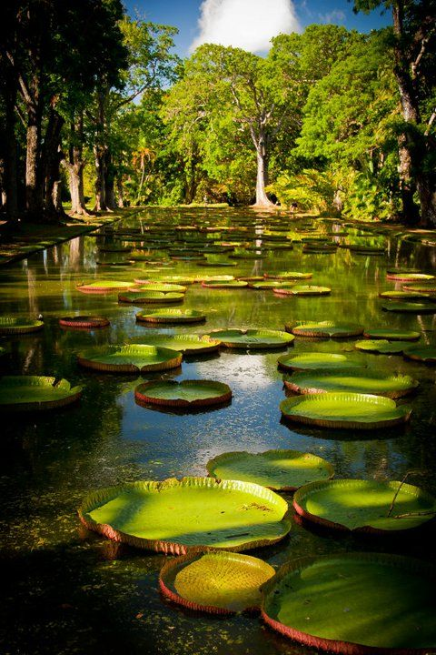 Le jardin de Pamplemousse in Mauritius . These giant lotus pads 'Victoria amazonica' as the name suggest are originally from the Amazon rainforest.
