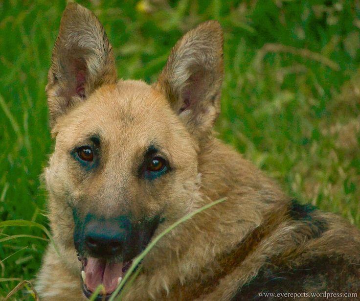 German shepherd wikipedia image result for husky and