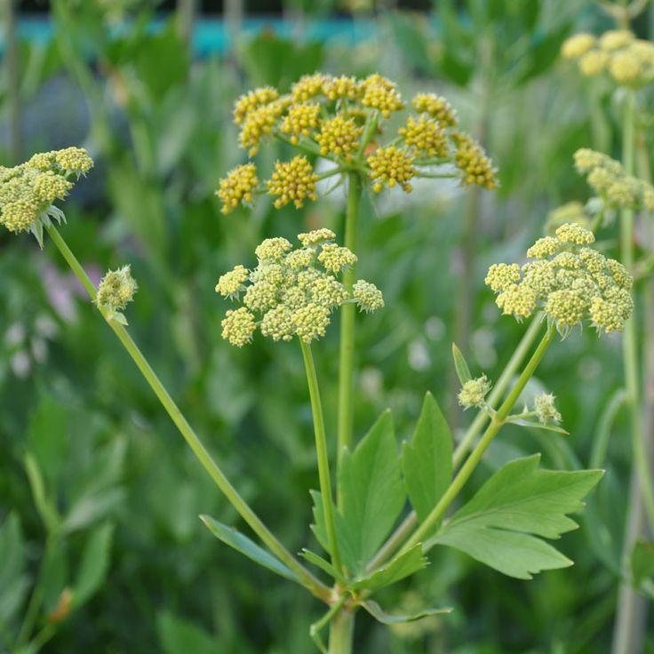 LIBBSTICKA i gruppen Krydd- och Medicinalväxter / Medicinalväxt hos Impecta Fröhandel (3130)