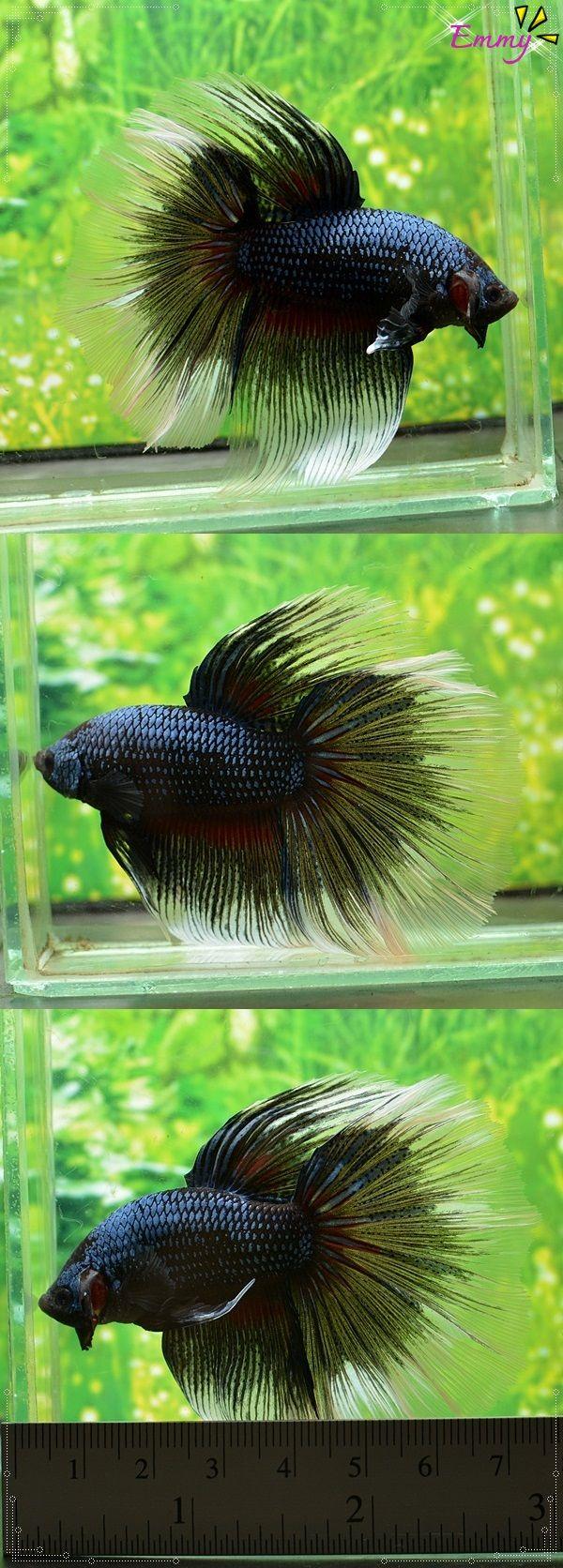 22 best Bettas images on Pinterest | Aquarium fish, Betta and Fish ...