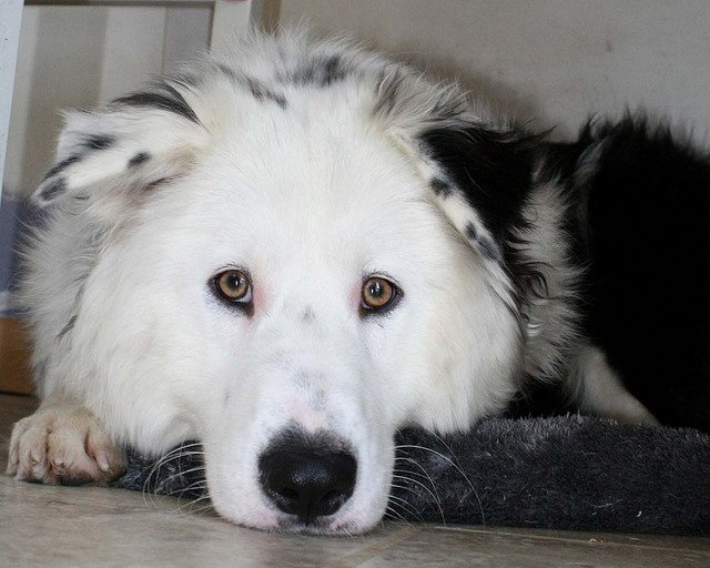 Samoyed For Sale >> Border Collie Samoyed mix!!! I would love to own this dog | Animals | Pinterest | Beautiful dogs ...