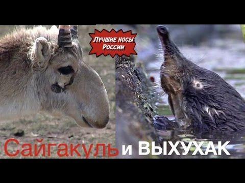 """Трейлер """"Лучшие носы России. Сайгак и выхухоль."""""""