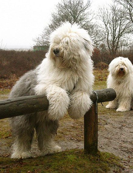 Old English sheepdogs…..AREN'T THEY A BIG BUNDLE OF LOVABLE DOG??……THINKING OF SENDING THEM TO BALLET CLASS TO GET A LITTLE BIT OF GRACE AND REFINEMENT………..ccp                                                                                                                                                      More