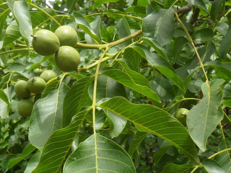 walnuts - 3