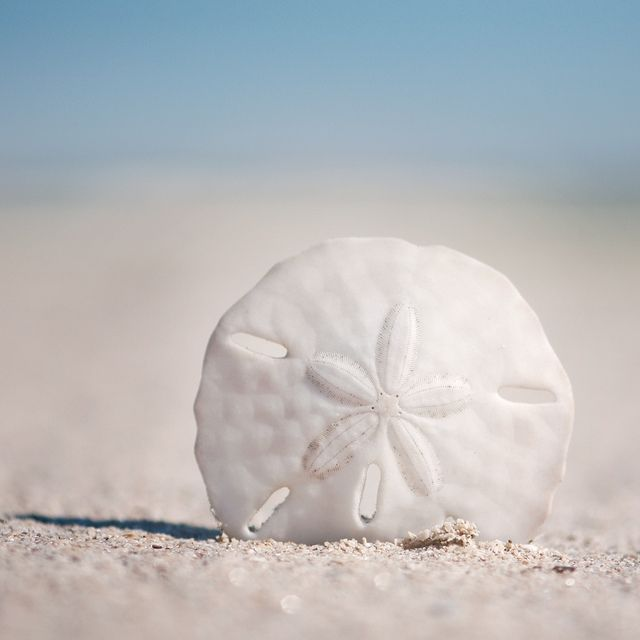 Sand Dollar ...