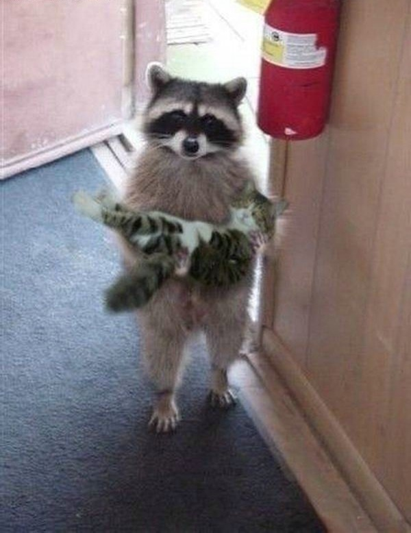 cutest. and also slightly terrifying considering how mean most raccoons are...