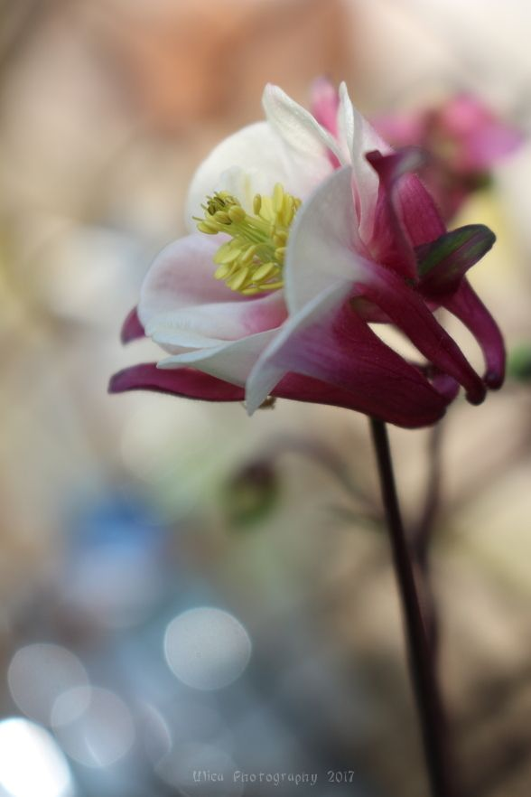 L'eleganza del fiore di Aquilegia L. ( columbine, granny's bonnet, caldarușă, les Ancolies, die Akeleien)...