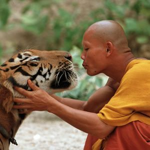 Thailand's Tiger Temple.  2 hours drive from Bangkok in the Kanchanaburi province, the Tiger Temple has been taking care of tigers singe 1999. Monks are taken care of the animals rescued from poachers, having around 17 fully grown tigers and cubs housed within the temple grounds.  source: http://www.greenexpander.com/2008/04/15/the-tiger-temple/