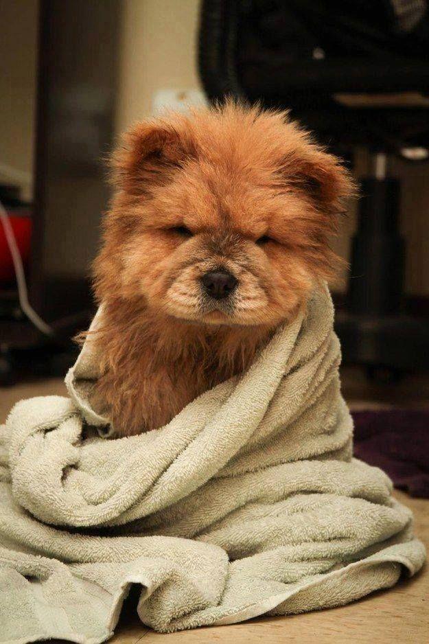 Popular Spherical Chubby Adorable Dog - 22af043b46d90618aaaaf0861d673c81--cutest-puppy-breeds-cutest-dogs  2018_952942  .jpg