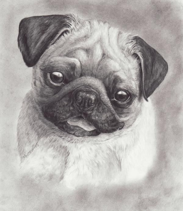 pug pictures and prints pug drawing by laurie mcginley perky pug fine art prints