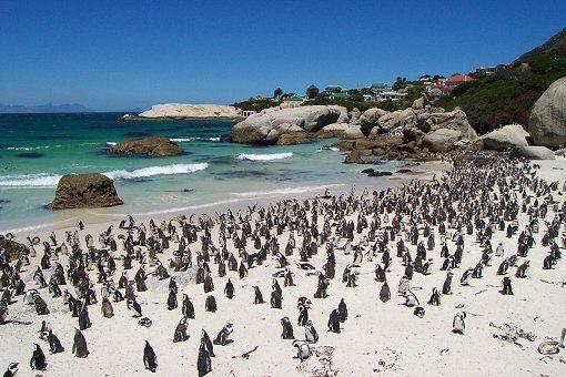 http://www.kapstadt.de/images/stories/kapstadt-de/reisefuehrer/falsebaykueste/simons-town/pinguine-boulders-beach-3.jpg