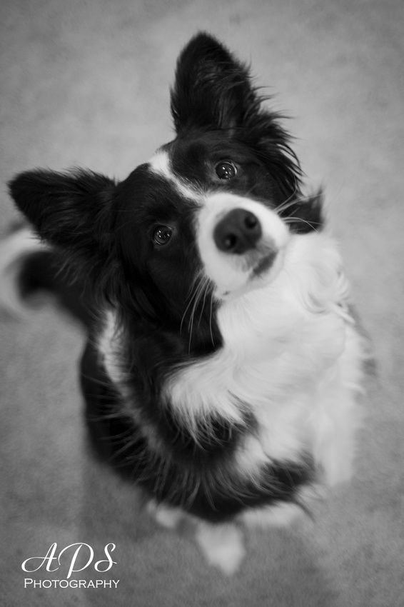 Border Collie Puppy | One of the cutest Border Collies ever!