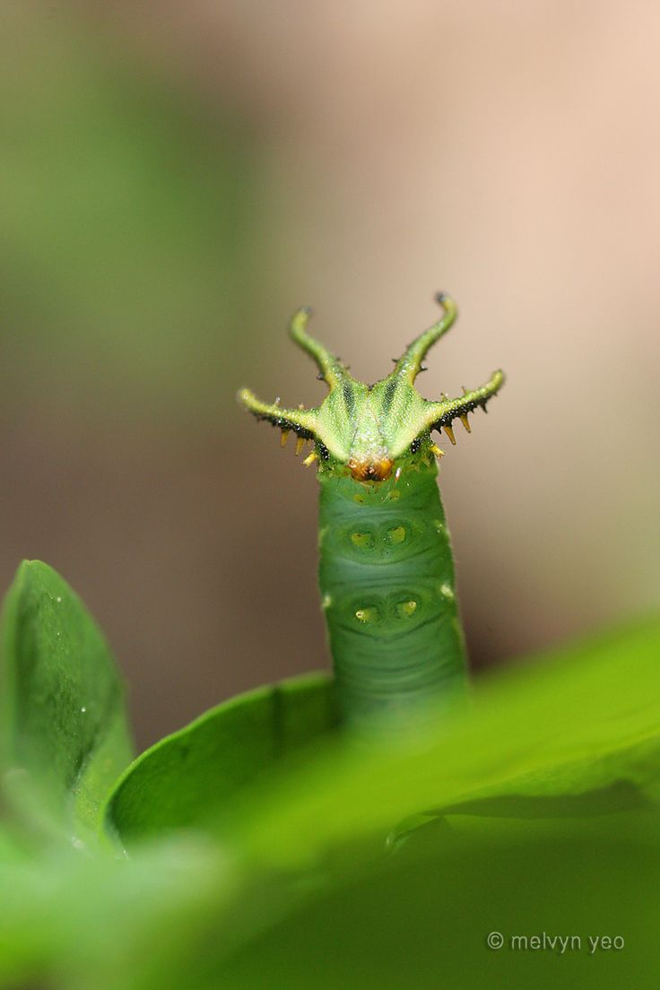 Rajah Butterfly, Dragon head Caterpillar, Photo by melvynyeo.