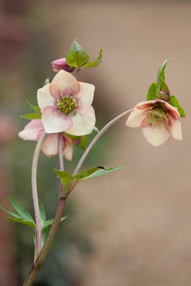 Helleborus 'Apricot Blush'  - photo by Clive Nichols