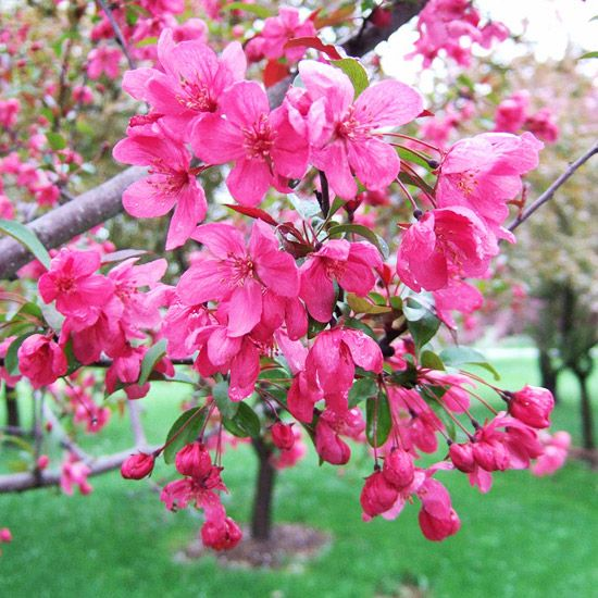 Prairifire or Prairie Fire or Prairiefire Crabapple Tree.  To replace my dying orchard.
