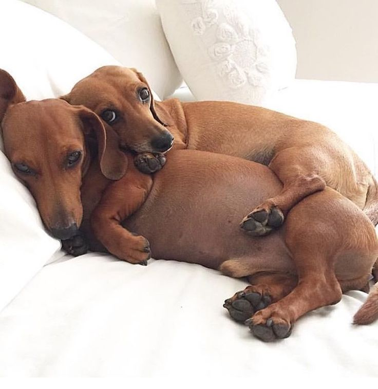 Big Spoon Little Spoon Sausage Dog