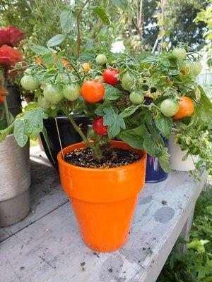 Groenten in potten op dakterras of in tuin