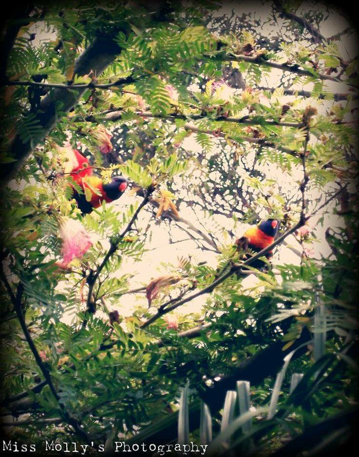 Parrots in my back yard in Queensland, Hervey Bay 2012 #photography #birds #rainbow #gardens