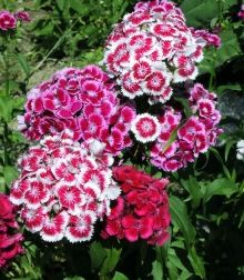 Dianthus Sweet William - deer resistant, perennial, easy, border