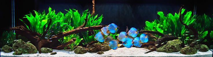 Aquarium Design Group - Simple Beauty of a Planted Discus Aquarium