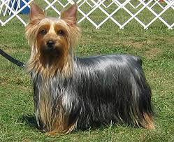 silky terrier australiano razas de perros pequeños