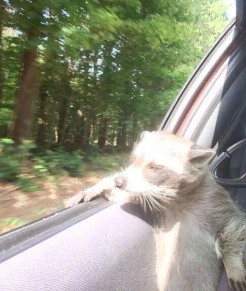 http://www.icetrend.com/the-ultimate-collection-of-animals-posing-like-people/ The Ultimate Collection van Dieren Poseren Like People, wasbeer kijken uit een rijdende auto: