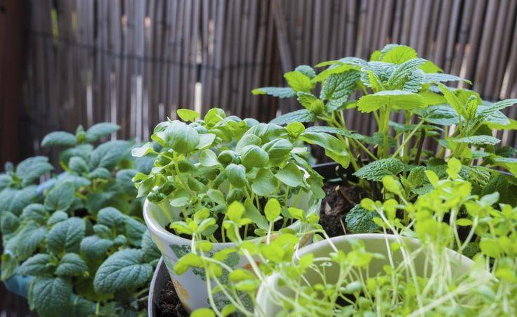 Balkongemüse: Die besten Sorten für Kübel und Kästen