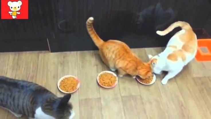 Funny Crazy Cats 2016 #33   Смешные Сумасшедшие Кошки 2016 #33