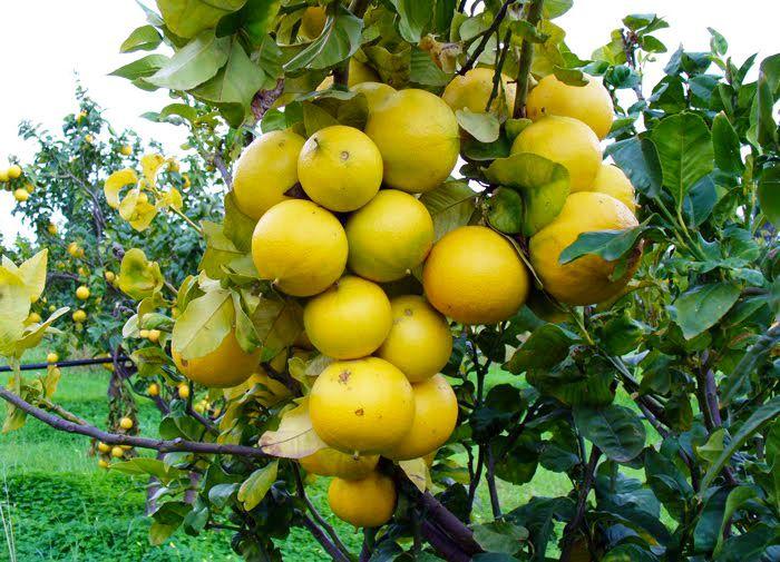 TUTTO SUL #BERGAMOTTO: conosciamo da vicino questo frutto che cresce solo a #ReggioCalabria, ricco di proprietà benefiche   e  famoso in tutto il mondo per le sue qualità organolettiche e nutrizionali.   #bergamotto #agrumi #frutta #benessere #salute