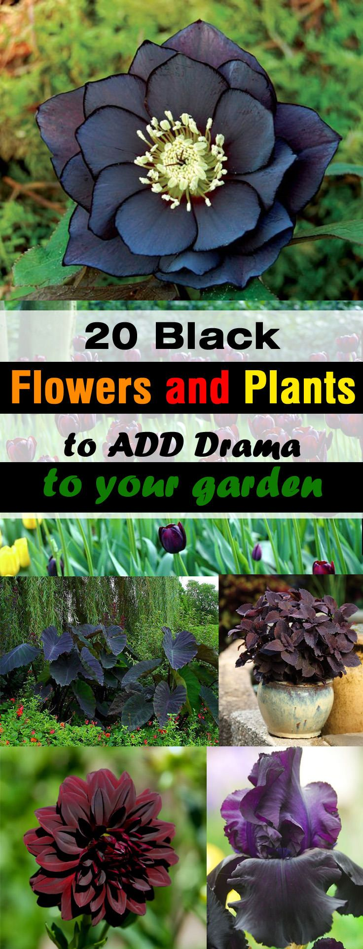 Add a unique touch of color and drama to your garden by adding black flowers and plants. These plants can also be grown in containers.