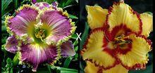 Híbrido mistura Hemerocallis flores semente, Rare único híbrido Hemerocallis sementes – dia pacote de sementes de lírio