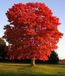 American Red Maple Tree - fast growing - good shade. For the front yard.
