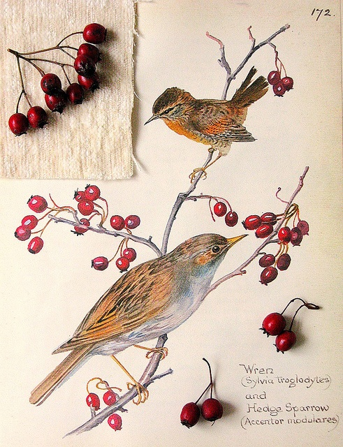 Wren and Hedge Sparrow art - 'Early each spring the little wren, Came scolding to his nest of moss; We knew him by his peevish cry, He always sung so very cross. His quiet little mate would lay, Her eggs in peace, and think all day...' ~Charles Sangster, from 'The Wren' (bird, decor, motif) www.readbookonline.net/readOnLine/44855/