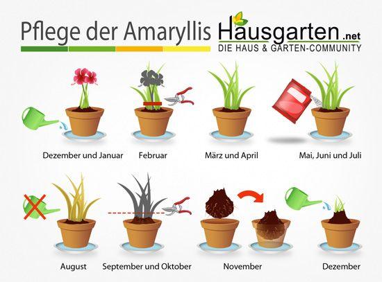 Amaryllis – Pflege-Anleitung