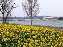 Lady Bird Johnson Park Daffodils