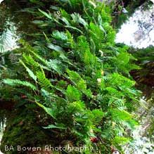 """Resurrection Fern:    Description: This remarkable plant can lose about 75 percent of its water content during a typical dry period and possibly up to 97 percent in an extreme drought. During this time, it shrivels up to a grayish brown clump of leaves. When it is exposed to water again, it will """"come back to life"""" and look green and healthy. The plant gets its name from this supposed """"resurrection,"""" but it never actually dies during the process. By contrast, most other plants can only lose…"""