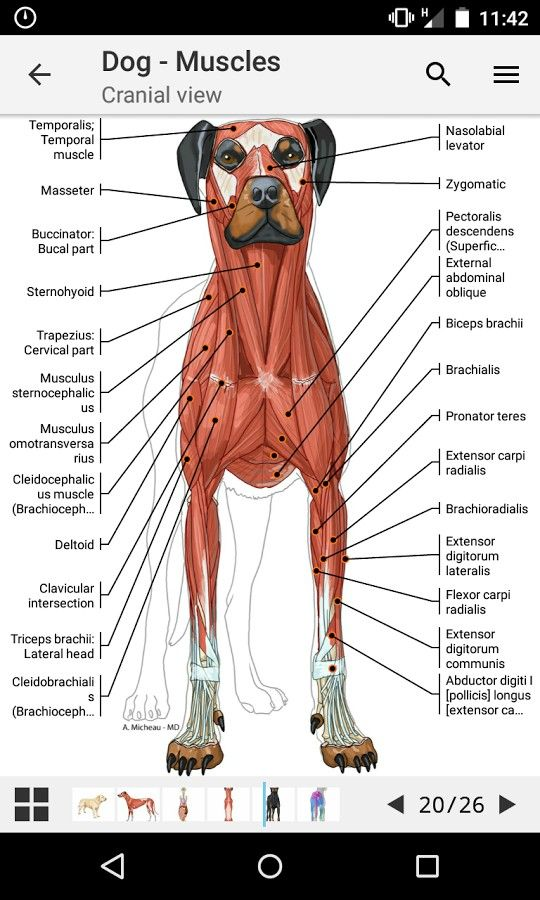 Dog Muscles Vet Sciences Dogs Dog Anatomy Dog Care