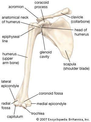 the 25+ best arm bones ideas on pinterest | bones of the arm, arm, Skeleton