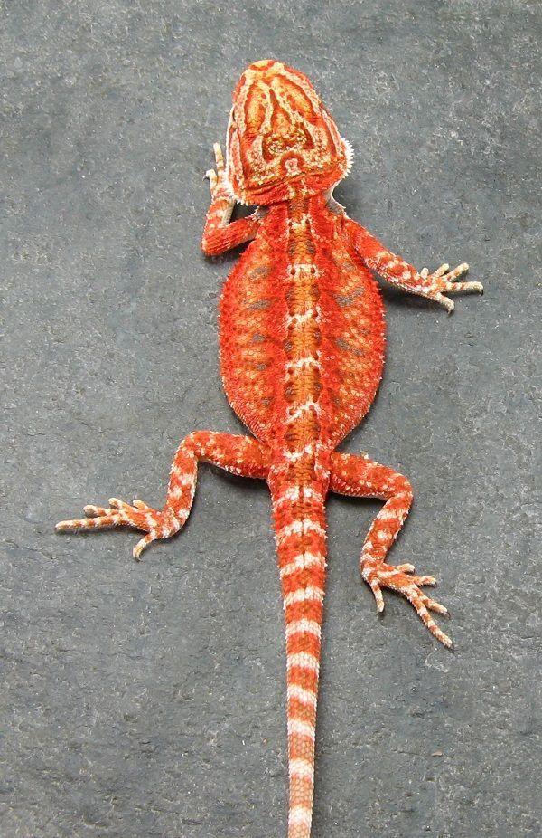 Red bearded dragon Jerome Murphy #beardeddragon