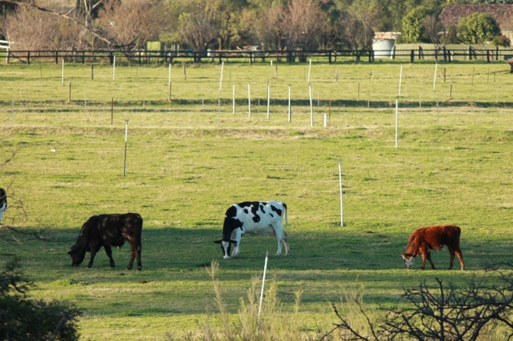 3 cows. Nothing more to see here.